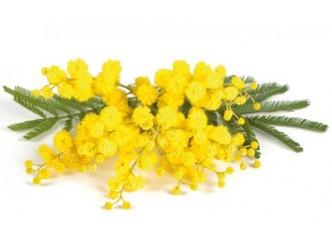 Huile à la fleur de Mimosa